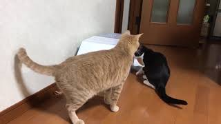 Download 閉じ込められた秀吉を助けようとする子猫 Video