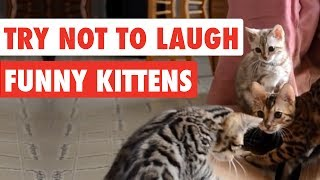 Download Try Not To Laugh | Funny Kittens Video Compilation 2017 Video