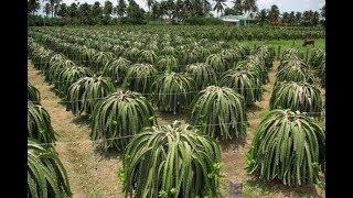 Download Como Plantar Pitaya Video