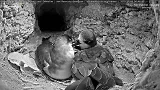 Download Bermuda Petrels Preen And Cuddle In Nesting Burrow – Nov. 8, 2019 Video