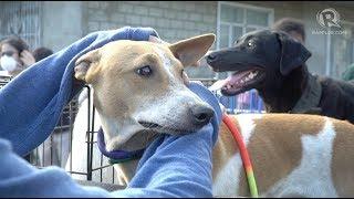 Download Volunteers rescue pets of Taal Volcano evacuees Video