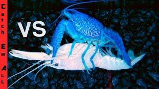 Download BLUE LOBSTER Vs WHITE LOBSTER! Battle 1 in MILLION Colors Breeding Video