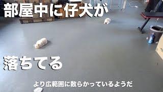 Download ますます部屋中にとっ散らかる仔犬たち Video