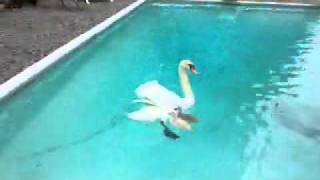 Download Swan Rescue Video