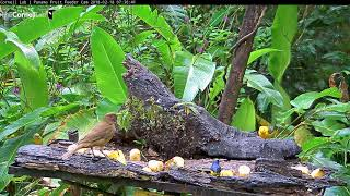 Download Prothonotary Warbler on the Panama Fruit Feeder Cam at Canopy Lodge, Feb 18, 2018 Video