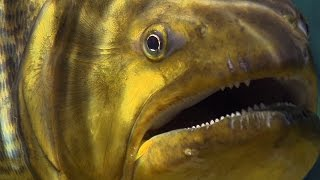 Download Piranha Feeding Frenzy - Planet Earth - BBC Earth Video
