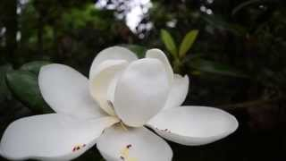 Download Time Lapse Magnolia Bloom Video