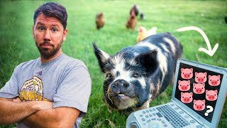 Download We didn't expect THIS many piglets! 🐷(pig ultrasound on our farm in the city) Video