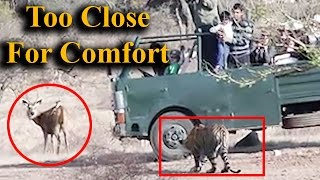 Download Ranthambore tiger gets too close for tourists comfort Video