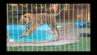 Download Just when You think You know about tigers ! Video