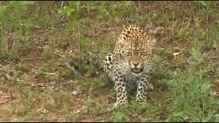 Download Leopard Karula Freaks Out At Jamie Video