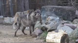 Download International Wolf Center- 14 May 2016 - Wolf Care Center Video