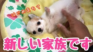 Download 【puppy dog】生後3ヵ月のチワワを迎え入れました【かわいい犬】【chihuahuas】【cute dog】【puppy chihuahua】 Video