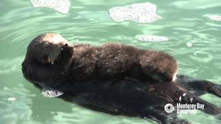 Download Otter moms have their paws full! Video