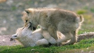 Download Babysitting Cute Wolf Pups - Snow Wolf Family And Me - BBC Video