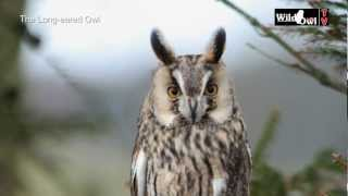 Download An Introduction to the Long-eared Owl (Asio otus) by Wild Owl Video