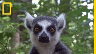 Download Raising Cute Baby Lemurs to Save a Species   National Geographic Video