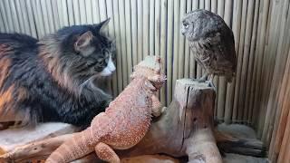 Download Сова, ящерица и кот соображают на троих чудо-порошок, закусывая тараканами. Video