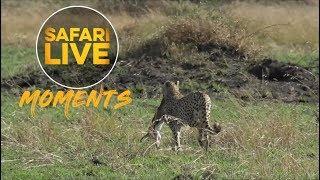 Download Kakenya the Cheetah Hunts Thomson's Gazelle Video