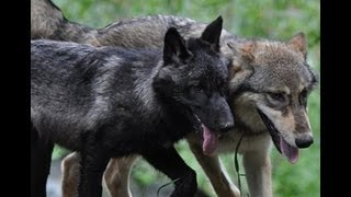 Download International Wolf Center 3 August 2012 - The 2012 Pup Introduction Video