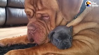 Download Tiny Puppy's Best Friend Is A Giant Dog Video