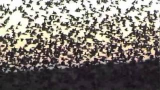 Download European Starling ( Common Starling ) Video