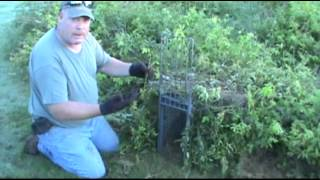Download Red Fox trapping with cage traps or box traps Video