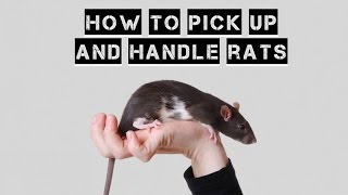Download HOW TO PICK UP AND HANDLE RATS Video
