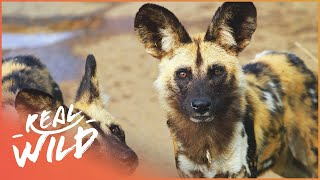 Download Wild Dogs vs Lioness   Wild African Dogs   Real Wild Video