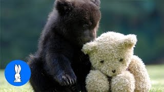 Download Baby Bear Cubs Playing - CUTEST Compilation Video