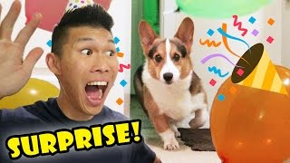 Download SURPRISING My CORGI Dog w/a BIRTHDAY PARTY || Life After College: Ep. 527 Video