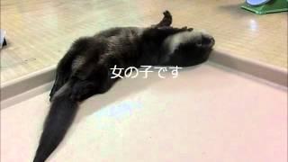 Download ツメナシカワウソの赤ちゃんと水差し(二見シーパラダイス) Video