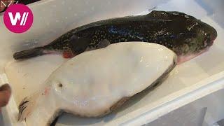 Download Fugu - so wird der giftige Kugelfisch zubereitet Video