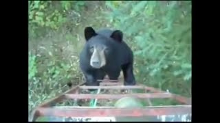 Download Man Talks Bear out Of Attacking Him Video