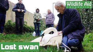Download Lost swan reunited with family Video