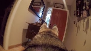 Download What Does My Husky Do When Home Alone? *GoPro Spy Footage* Video