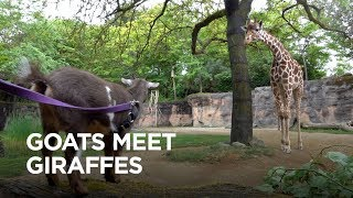 Download Tiny Goats Visit Giraffes Video