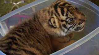 Download Handraising Twin Tiger Cubs - Tigers About The House - BBC Video