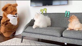 Download 거대한 여우와 마주친 강아지들의 반응 Video