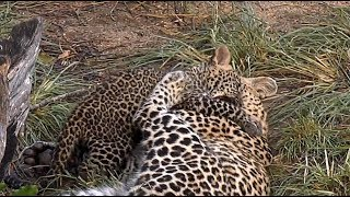 Download SafariLive Jan 17- Leopard Thandi plays with her cub! Video