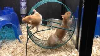Download Hamster Wheel Video
