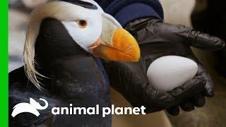 Download Puffin Couples Prepare Their Nests For Breeding Season | The Aquarium Video