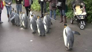 Download Penguin Walk - Zoo Basel [HD] Video
