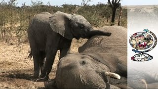 Download Caring for Baby Refugee Elephants (2010) Video