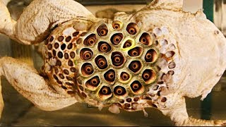 Download Best Trypophobia Triggers 2017 (Animals)! Surinam Toads, Clusters & Holes Video