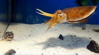 Download Cuttlefish vs Crab Video