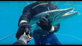 Download Spearfishing big BARRACUDA 20 kg. Подводная охота барракуда 20 кг. Video