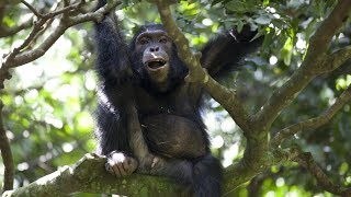 Download Watch Chimps team up to hunt Colobus Monkeys | BBC Earth Video