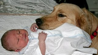 Download Golden Retriever and Babies Compilation NEW Video