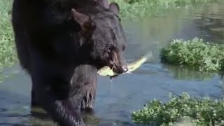 Download Bear and Otter Fishing Lesson | Big Sky Bears | BBC Video